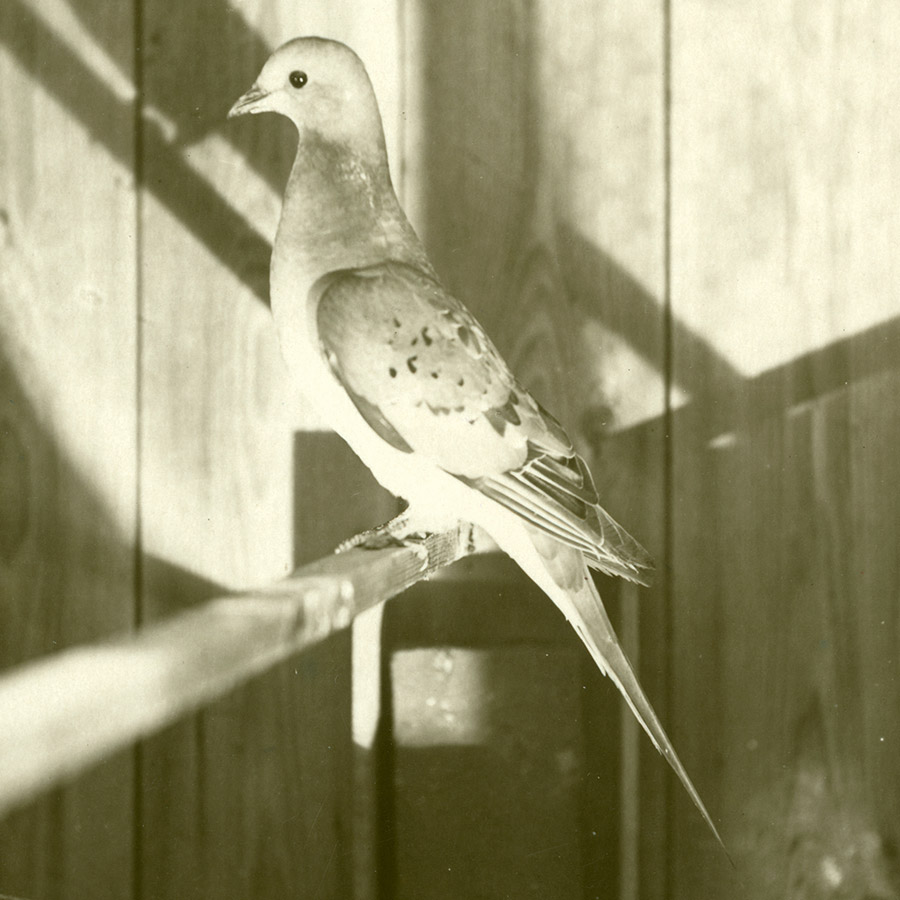a cute little passenger pigeon, black and white photo