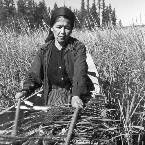 An Ojibwa woman, Francis Mike, harvesting wild rice in a boat on Totogatic Lake.