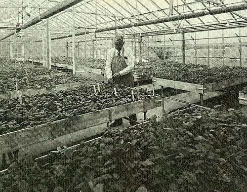 Man wearing apron, white shirt and tie checking raised beds of potato plants in a large greenhouse.